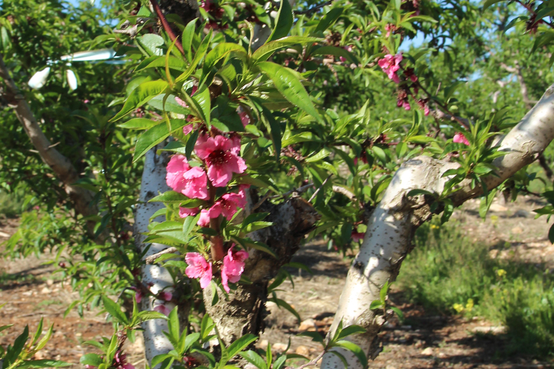 Bircat HaElanot fruit tree in bloom Israel