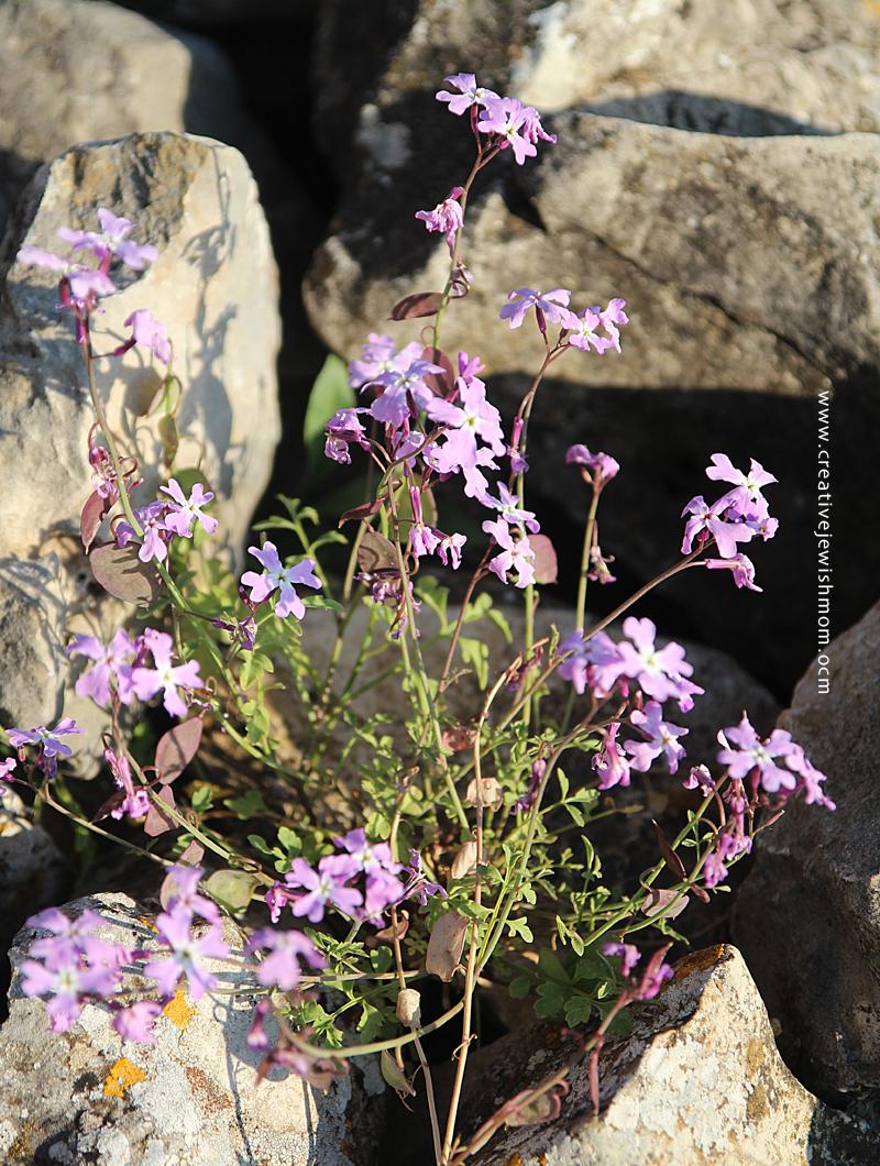 Israel Wildflowers Spring 2015