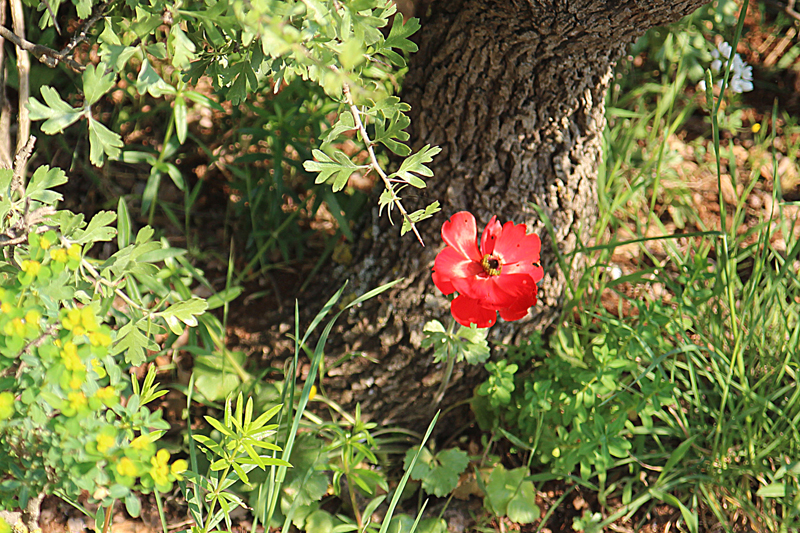 Israel Wildflowers Red Poppy spring 2015