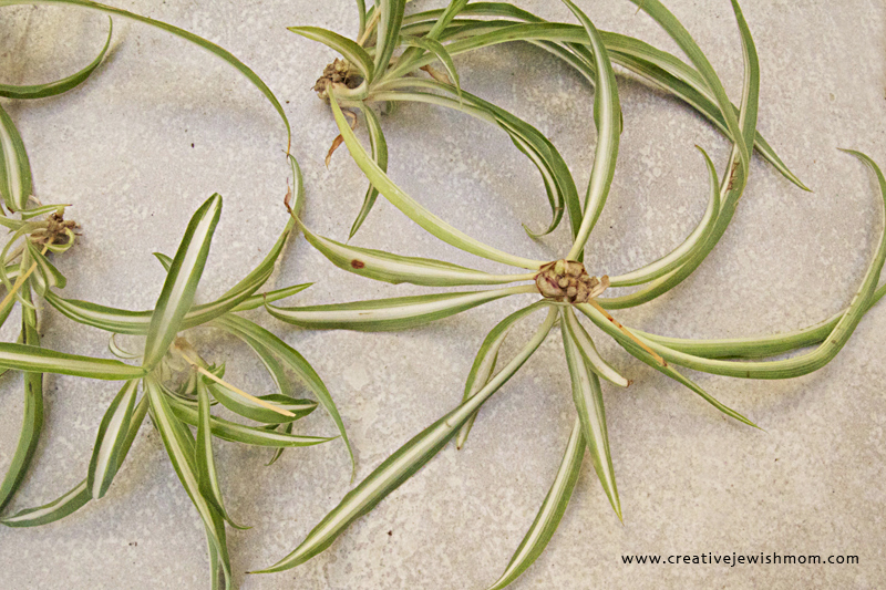 Propogating Spider Plant With Babies