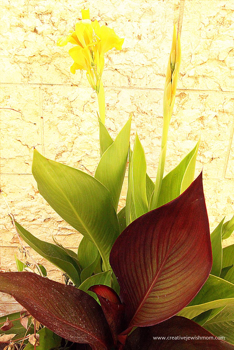 Blooms yellow canna in bloom