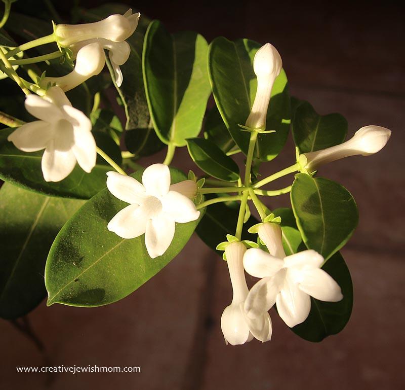 Blooms stephanoitis vine