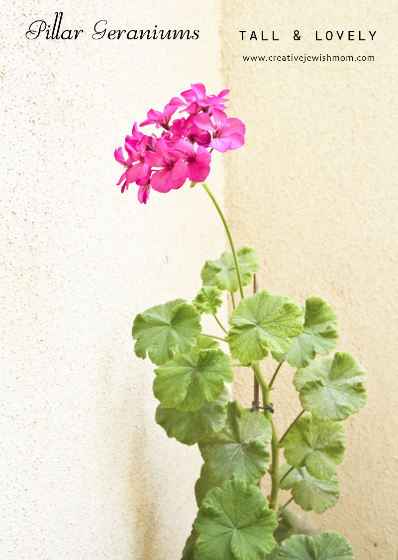 Pillar Geranium Single Bloom
