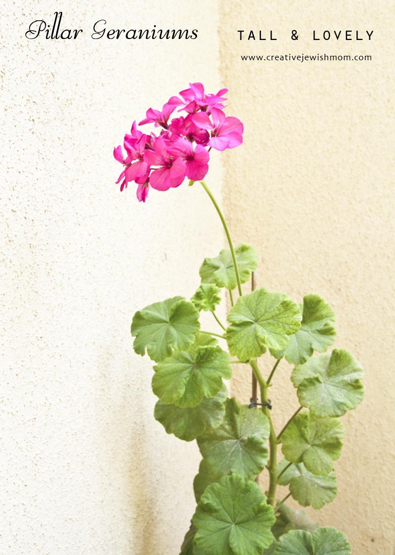 Pillar Geranium Single Bloom
