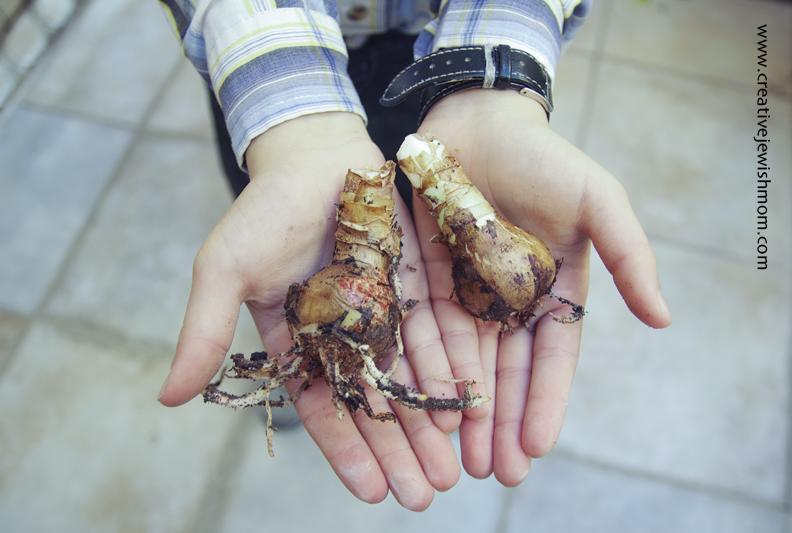 Forcing Amaryllis Bulb Babies
