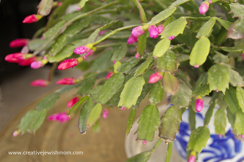 Schlumbergera buds on plant