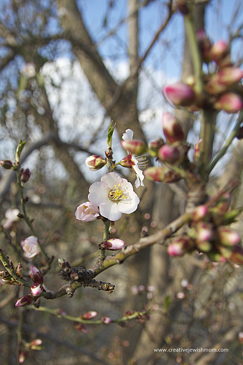 Almond Blossoms In Israel 2016