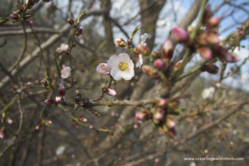 Safed Hike Almond Blossoms