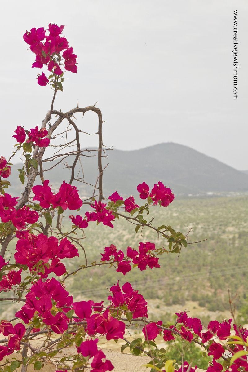 Container Garden Spring 2016 Bouganvillea With Meron View