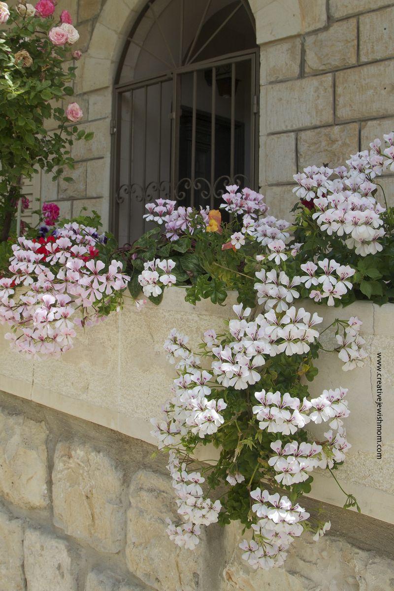 Geraniums White Trailing