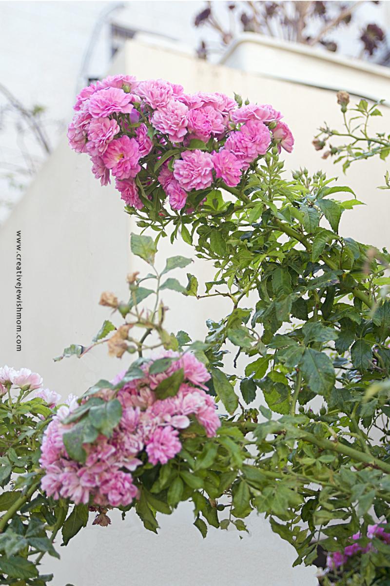 Climbing Pink Rose