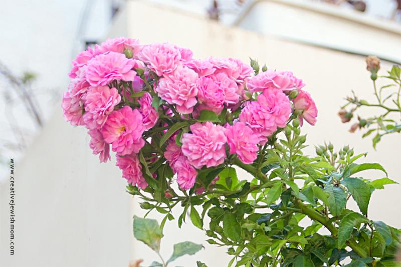 Climbing Roses Container Garden