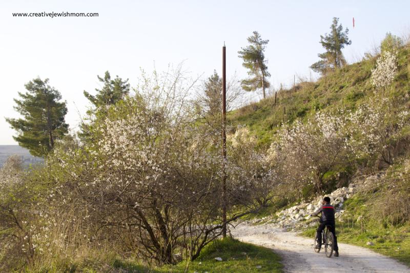 Almond Trees on Dirt Road In Israel