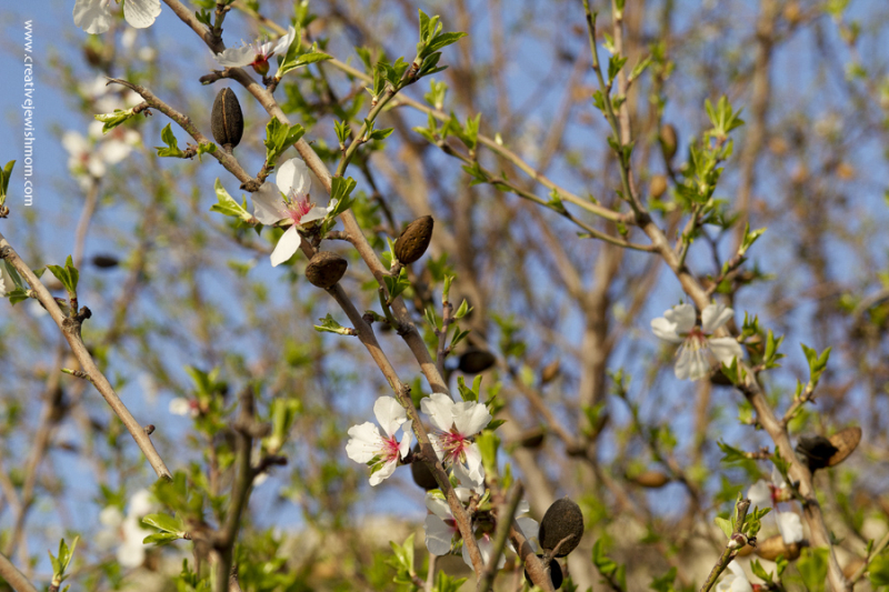 Almond blossoms with old almonds Israel
