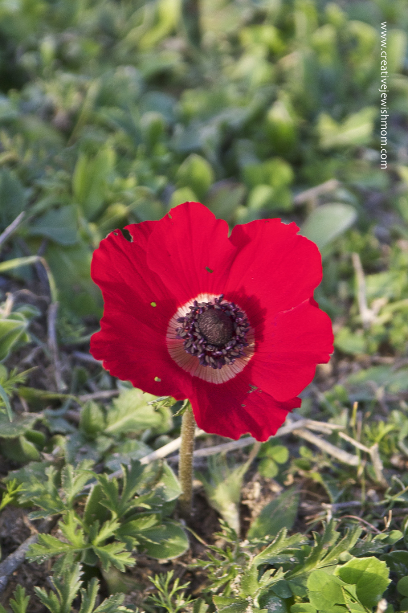 Red poppy close up in Israel