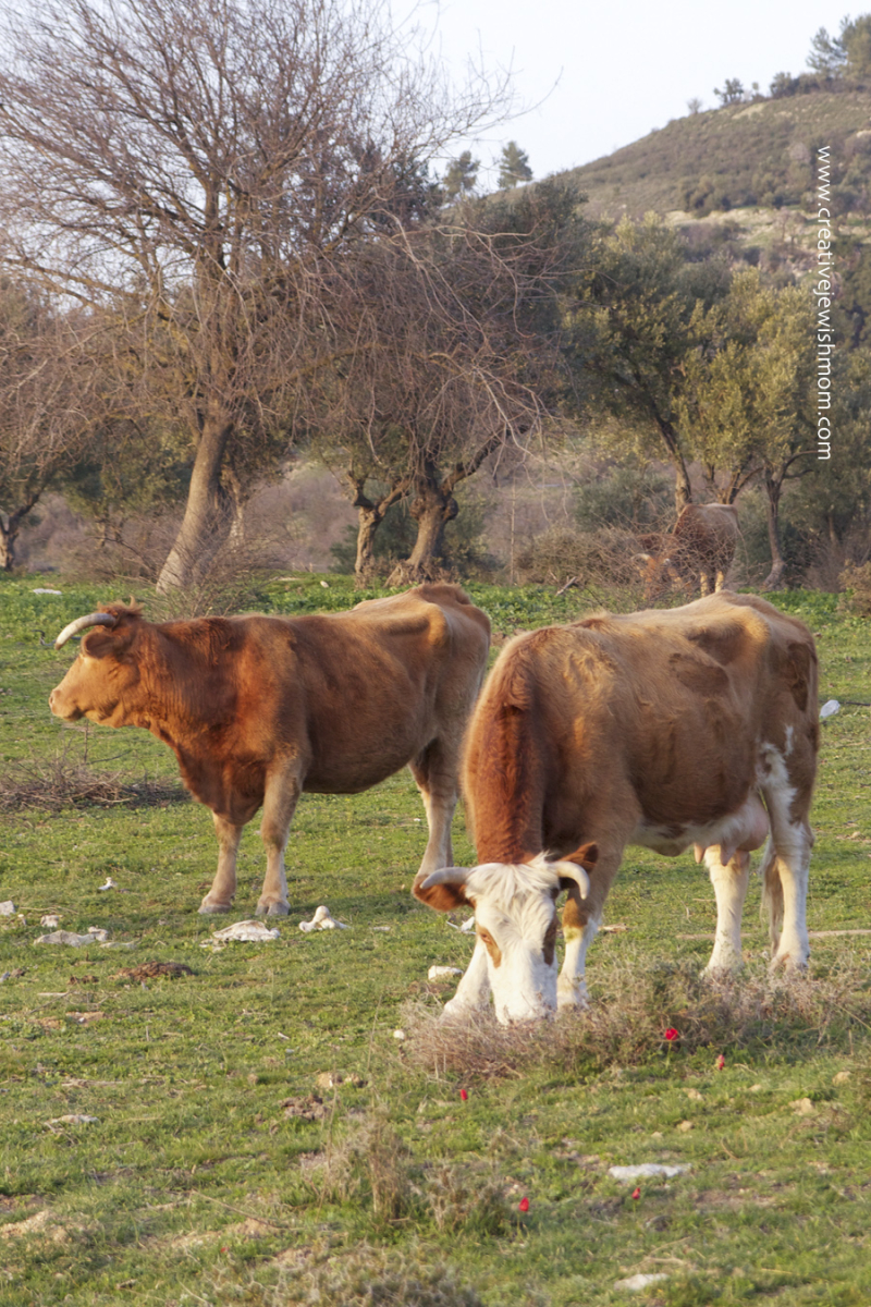 Red Poppies and red cows in israel