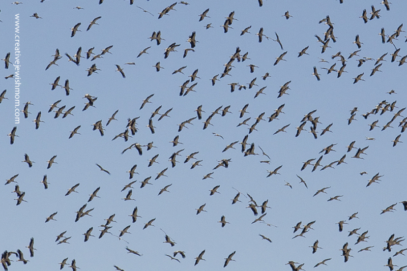 Migrating cranes by the thousands 2017