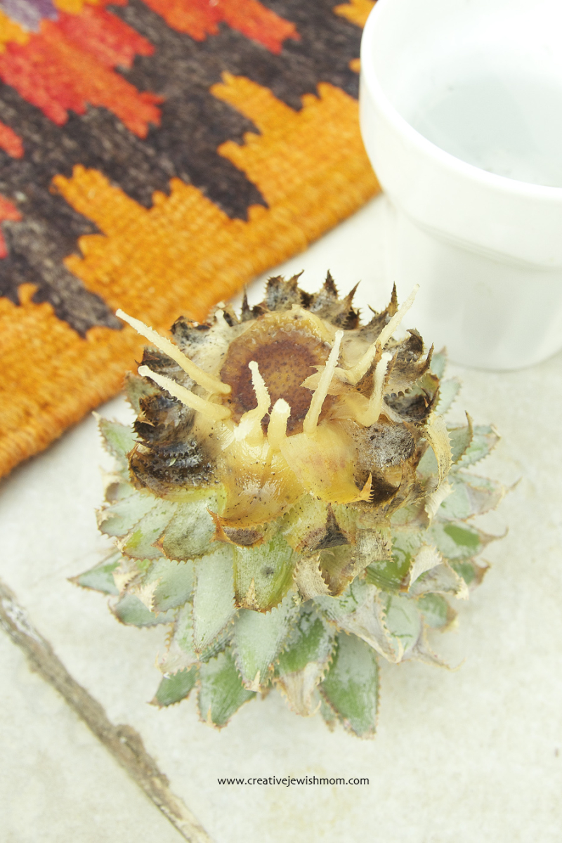 Pineapple top plant with roots