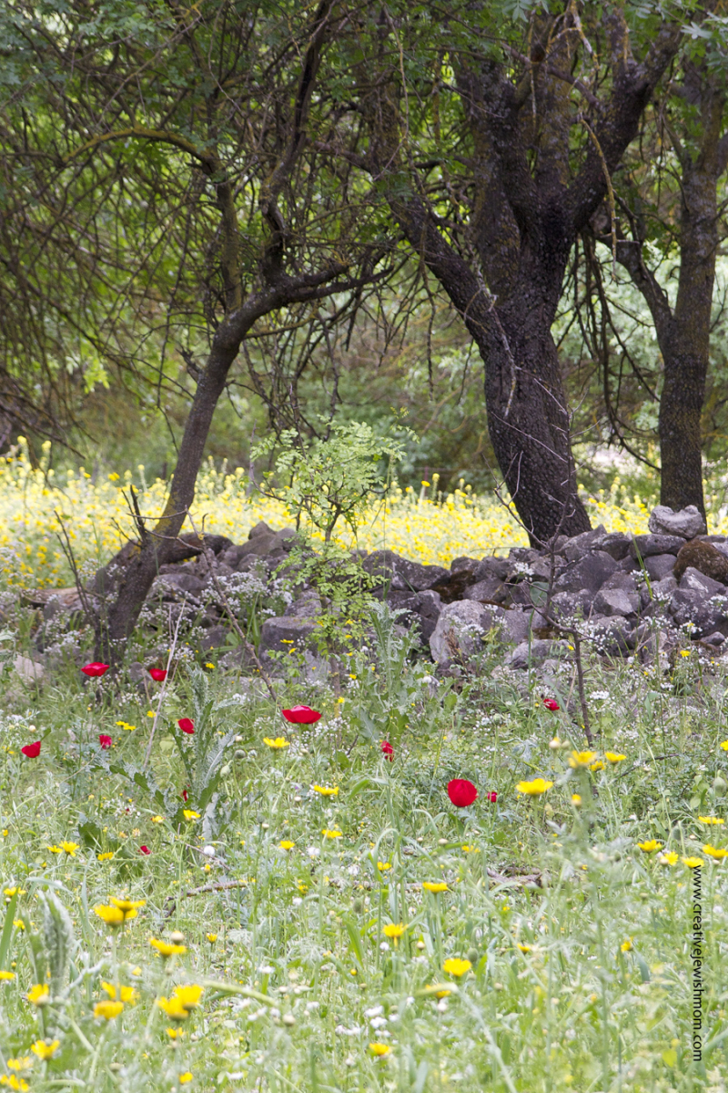 Red Poppies in field with daisies Passover 2017