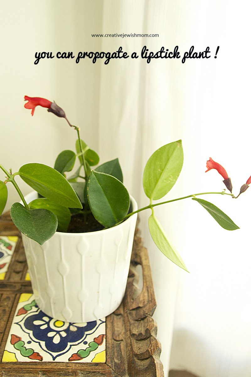 How to propogate a lipstick plant from cuttings
