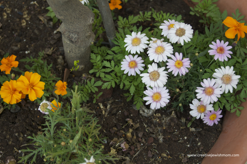 Marigolds miniatures that grow quckly from seed