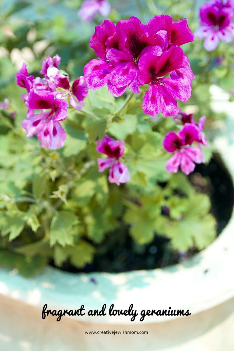 Geranium odorata in pot
