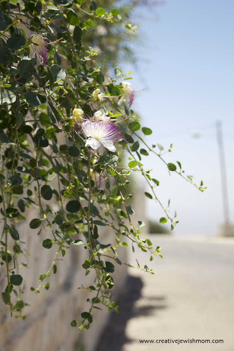 Thorny Caper Grows From Old Stone Wall