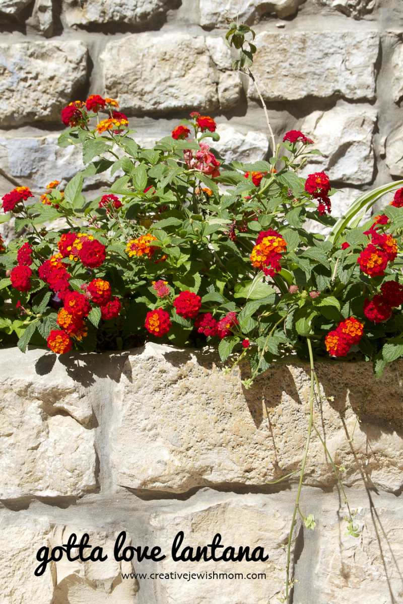 Lantana trailing red