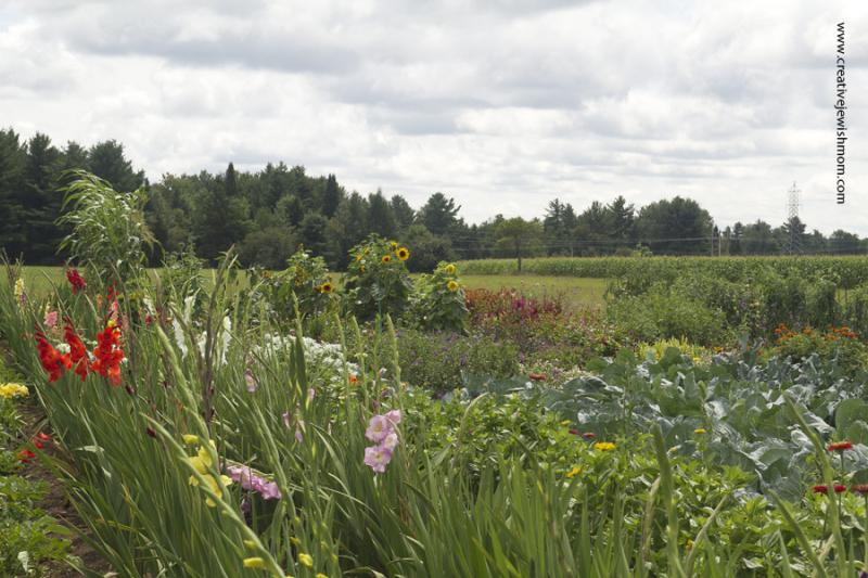 Croghan New York Mennonite Garden With gladiolas