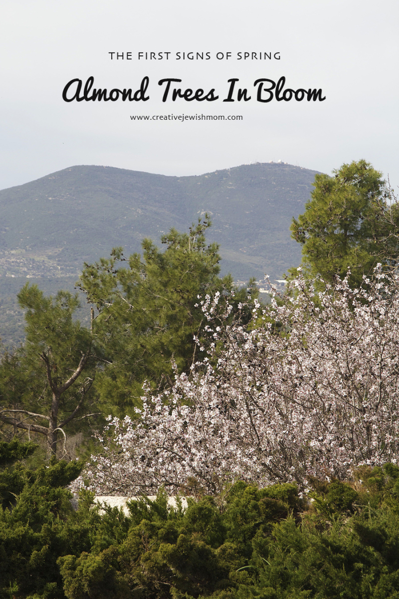 Almond trees in bloom with Mt. Meron