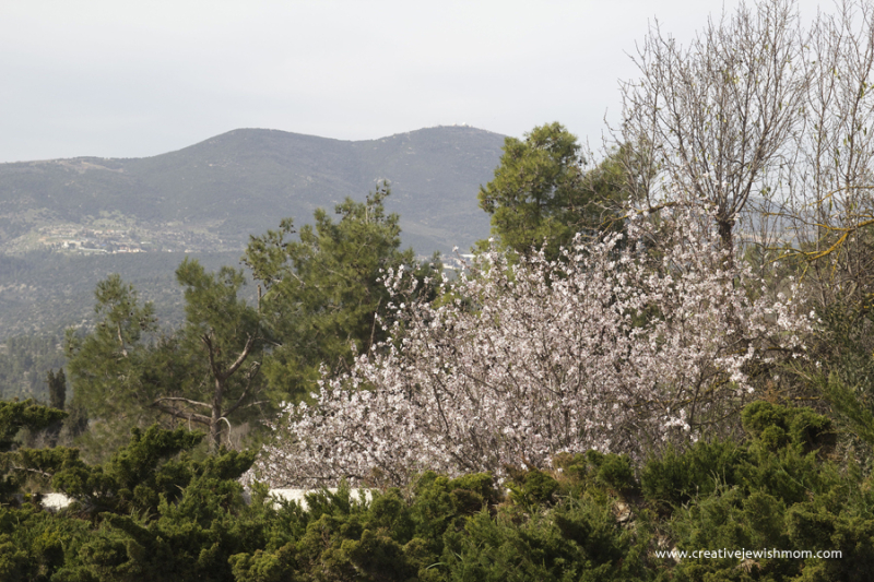 Almond Trees In Bloom Safed