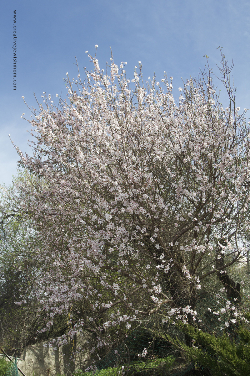 Almond Tree In Bloom with blue sky