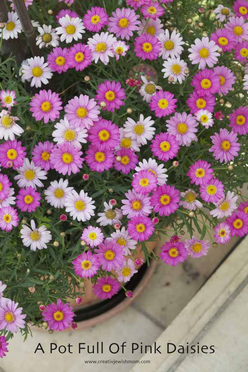 Pink Daisies In Container Garden