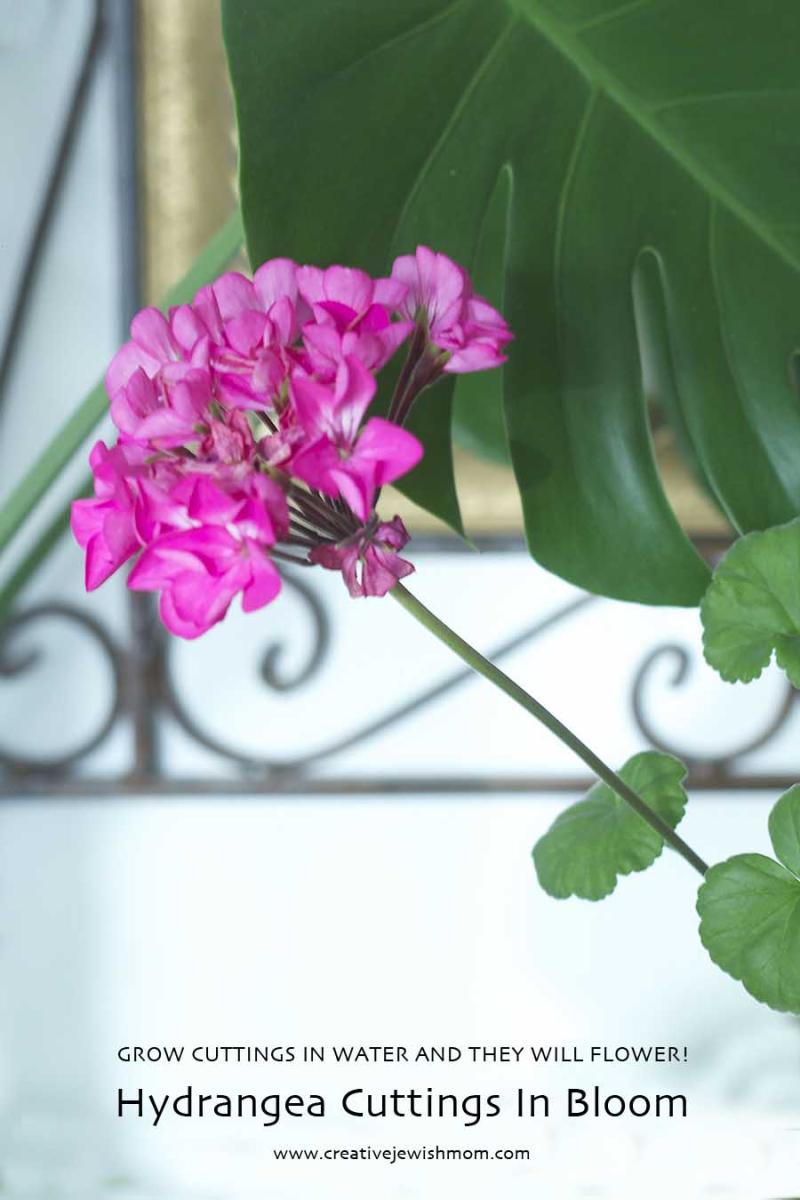 Hydrangea Cuttings Will Bloom In Water