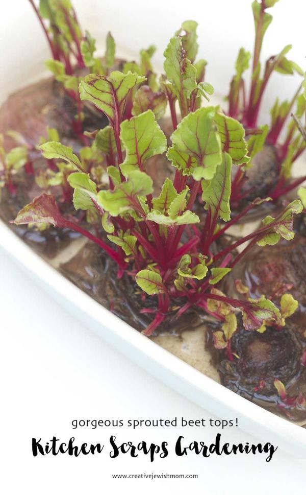 Kitchen Scraps Gardening Grow Your Own Beet Greens