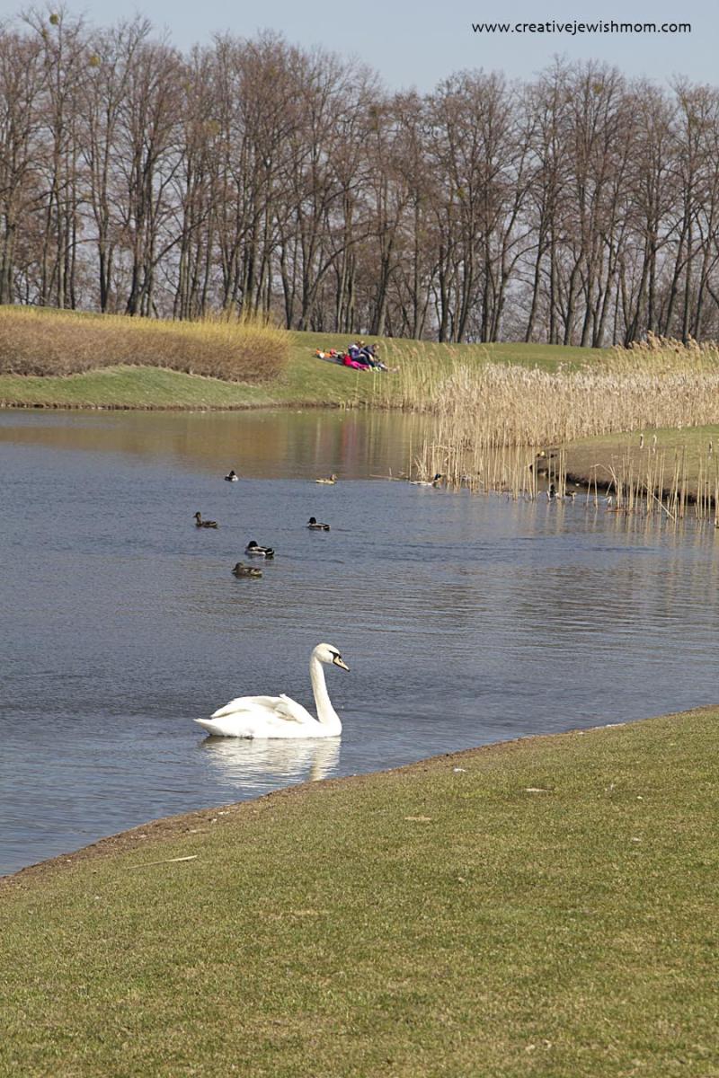 Swans In the Ukraine