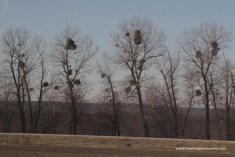 Bare Trees with mistletoe balls Ukraine