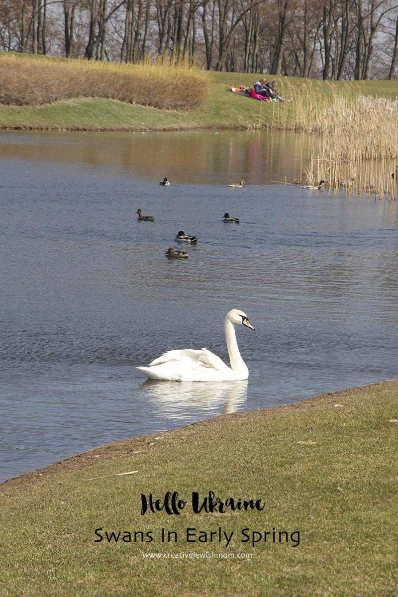 Swans Black and White In Ukraine