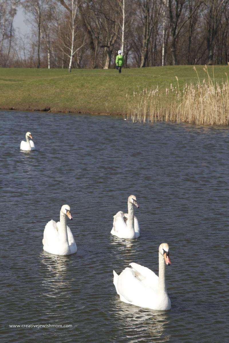 White Swans in Ukraine