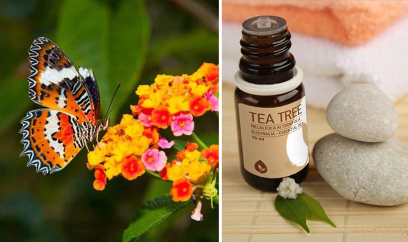 How to use tea tree oil how to grow a butterfly garden