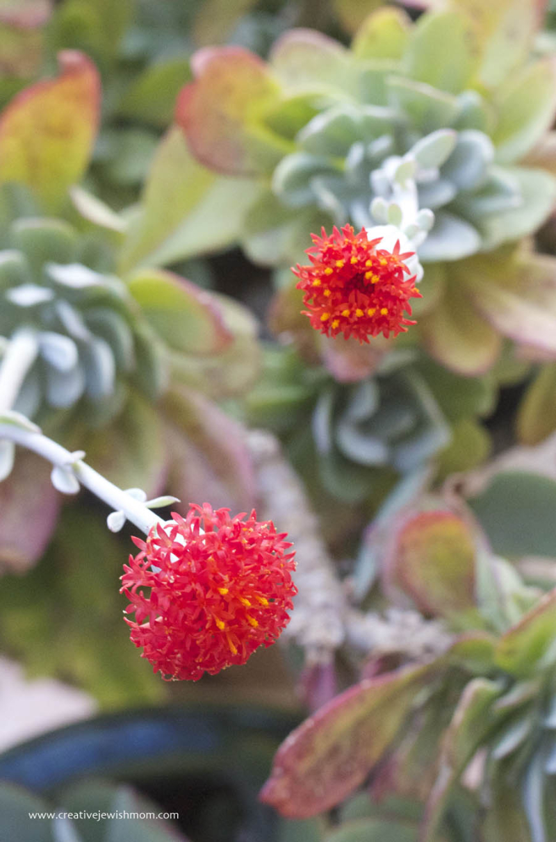 Succulent Oribe Gorge IN bloom again