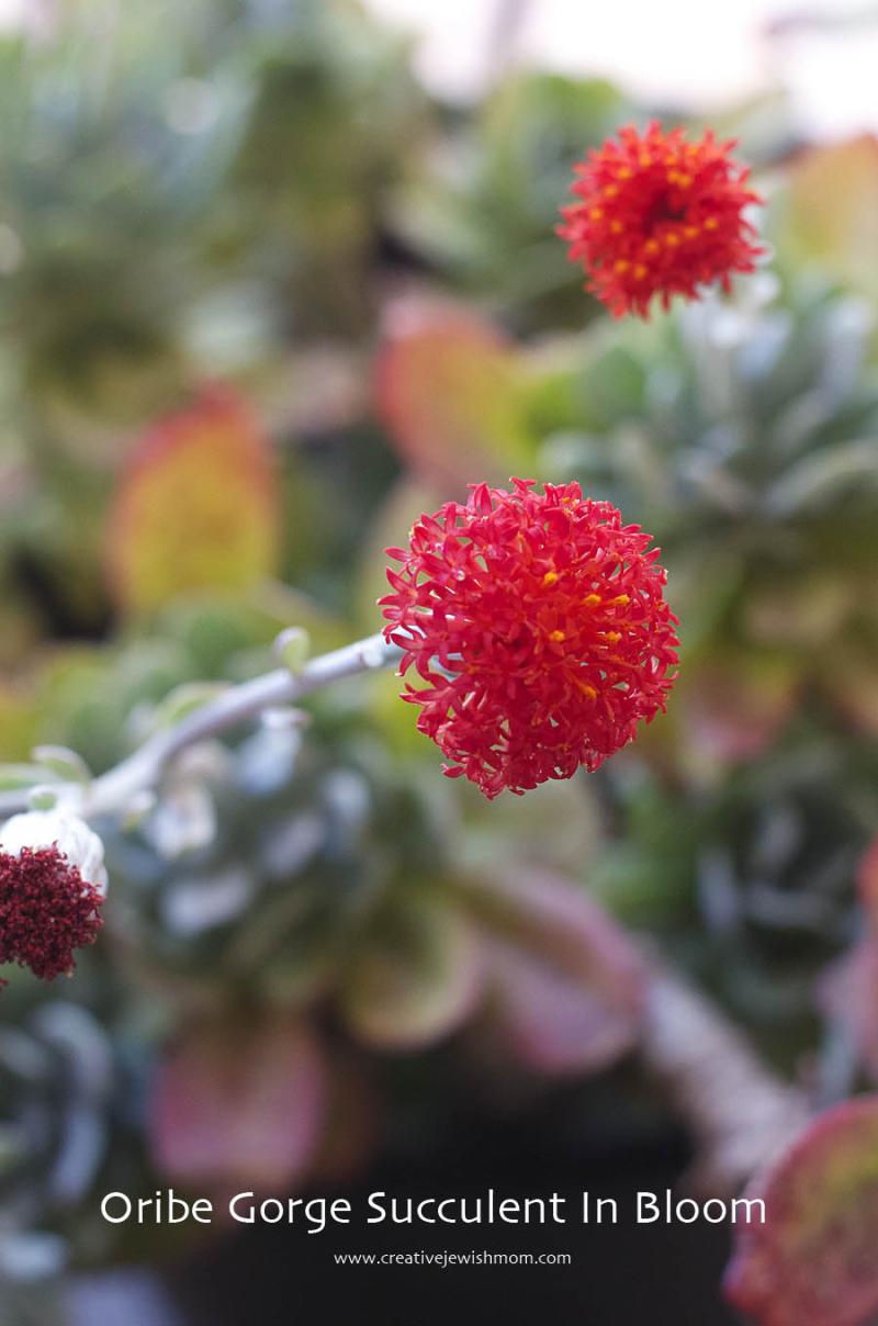 Succulent Oribe Gorge IN bloom again