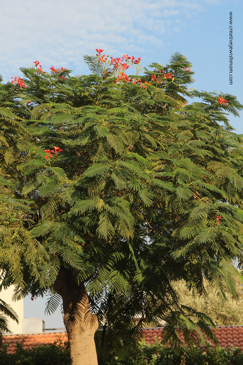 Royal Poinciana Tree  Israel