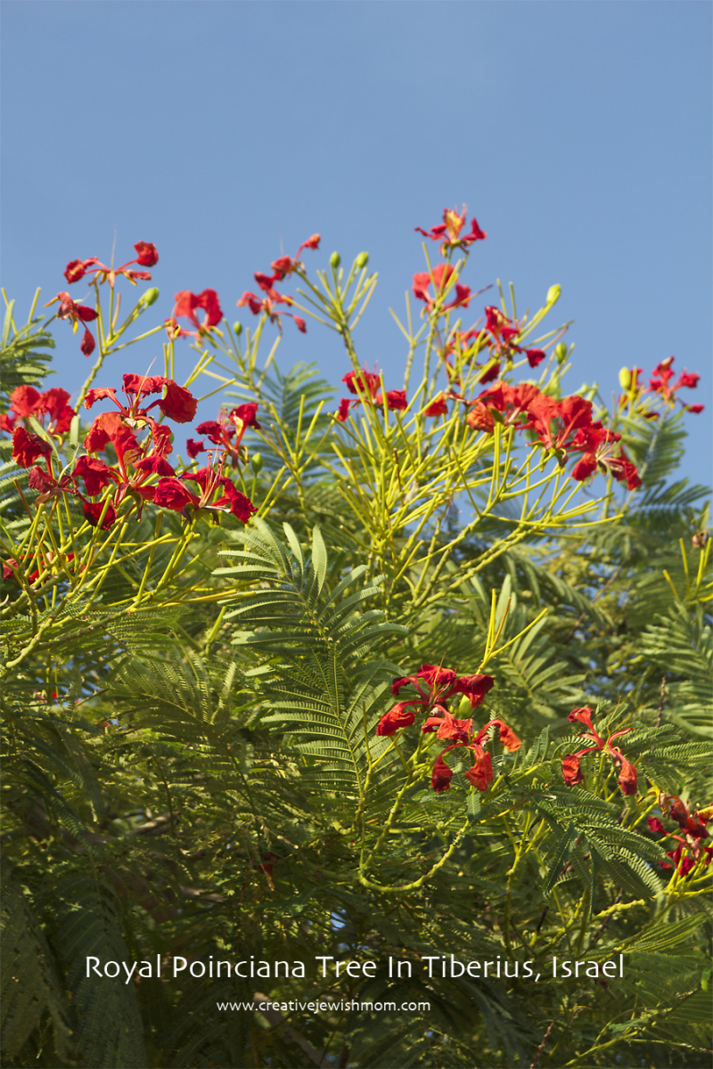 Royal Poinciana Tree  Israel