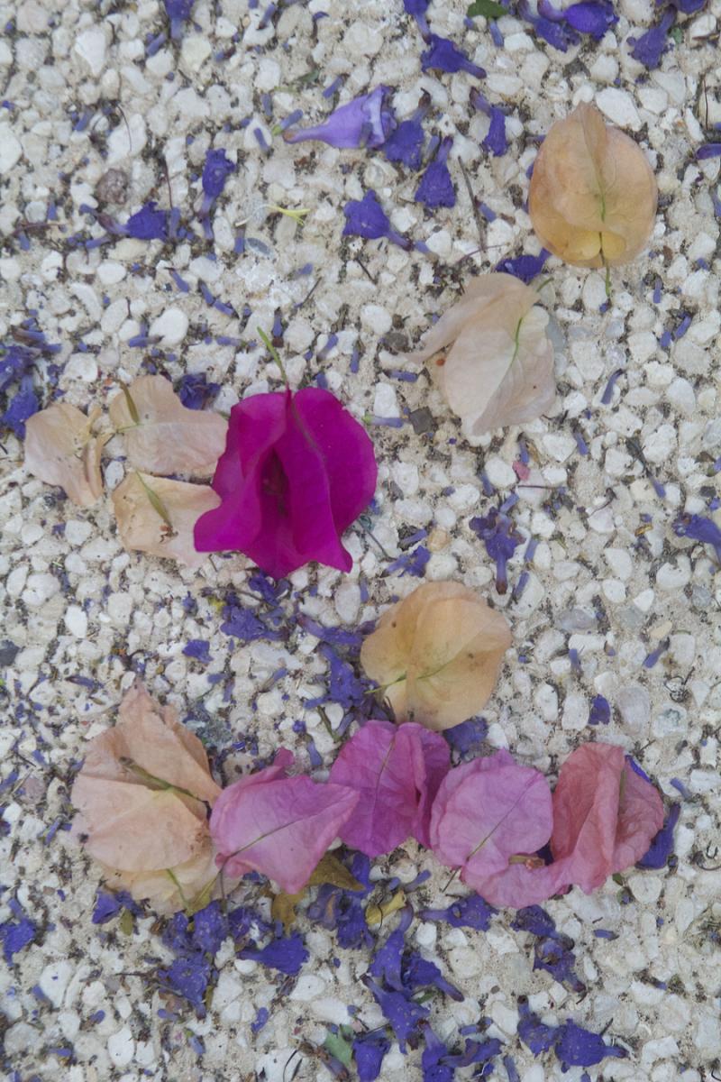 Bougainvillea-petals-on-ground