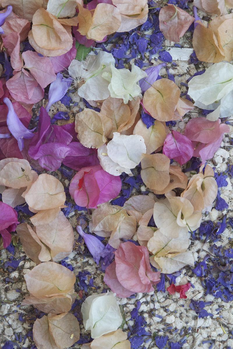 Bougainvillea-dried-petals
