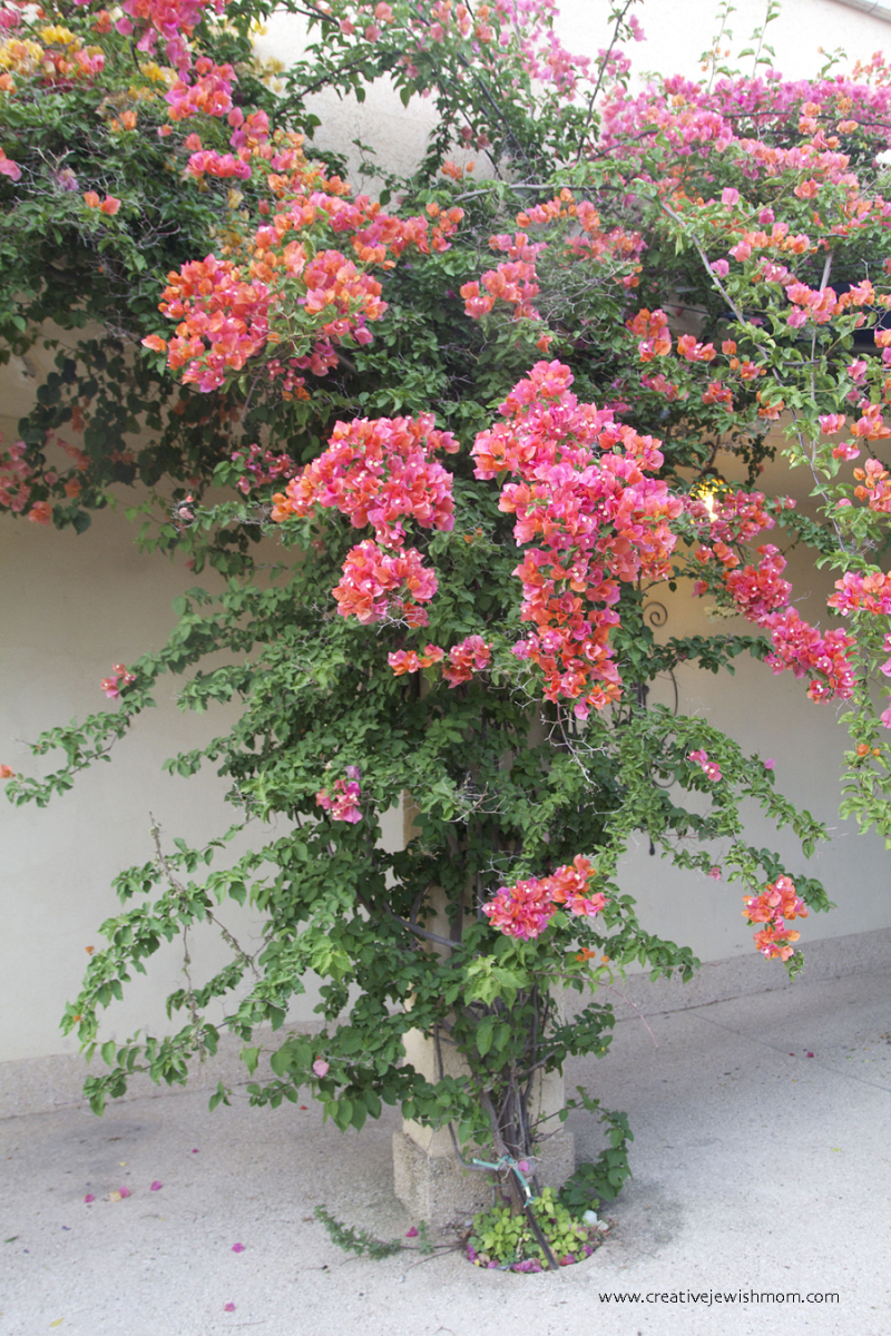 Bougainvillea-grows-on-arch