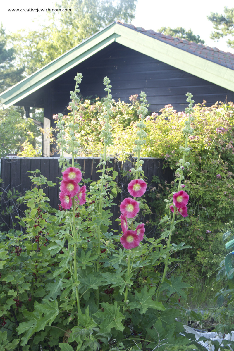 Sandhamn-Island-hollyhock-in-bloom