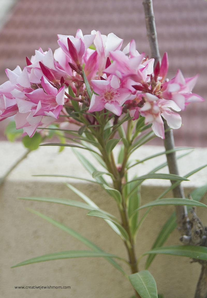 Container-garden-oleander