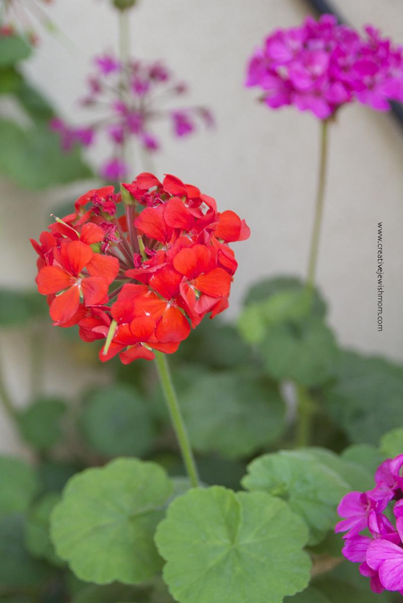 Container-garden-pillar-geranium
